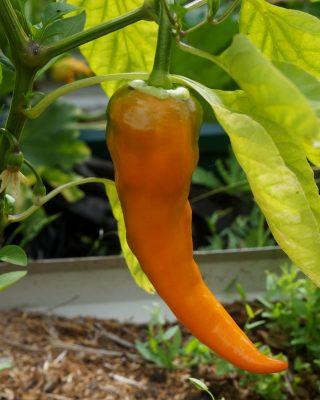По мере созревания перец «Рамиро» начинает окрашиваться в различные цвета