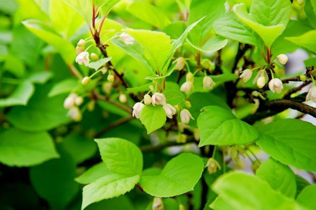 Цветочки у лимонника китайского симпатичные, душистые, но найти и разглядеть их в листве и побегах проблематично