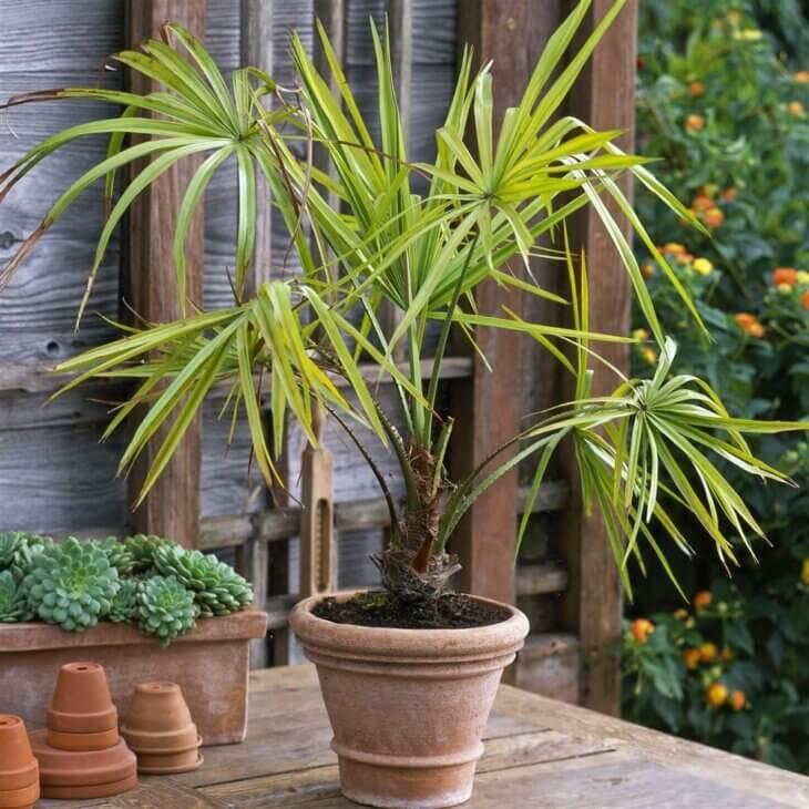 пальма большая