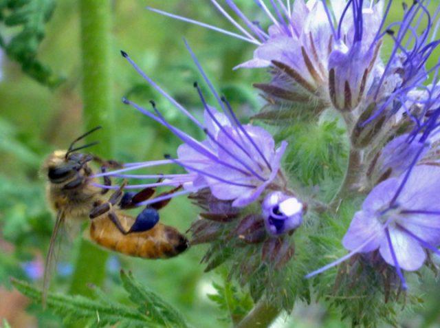 Пчёлка с синей обножкой на фацелии
