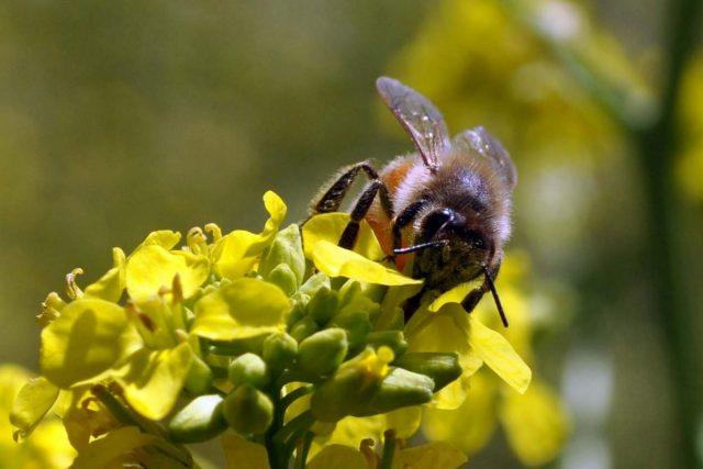 Любят пчёлки горчицу