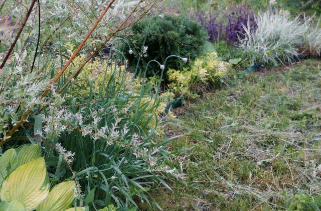 Лук-слизун (Allium nutans) на цветнике в фазе бутонизации