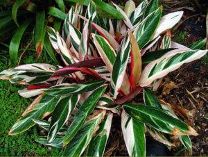 Строманта, у которой сохнут листики