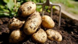 Урожай картофеля в огороде