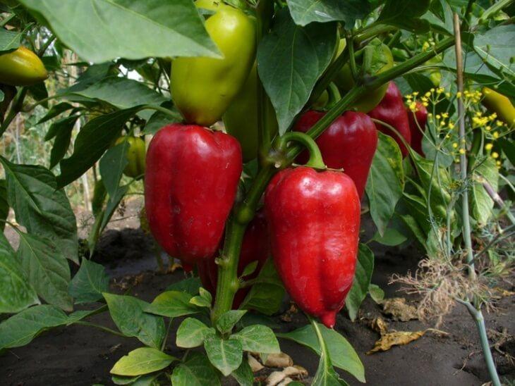 Для предупреждения развития черной ножки у болгарского перца при выращивании рассады нужно избегать полива холодной водой