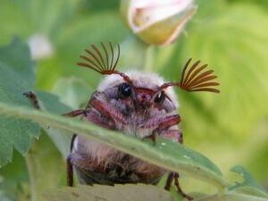 Некоторые птицы являются угрозой для майского жука