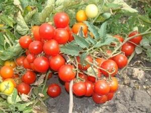 Большинство низкорослых помидор не нуждаются в пасынковании, поэтому отлично подойдут для выращивания новичками