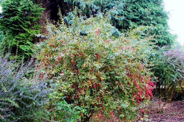 Барбарис амурский (Berberis amurensis)