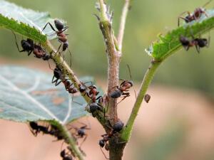 Муравьи, поедающие растение