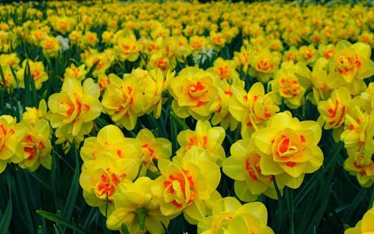 Лат. Narcissus