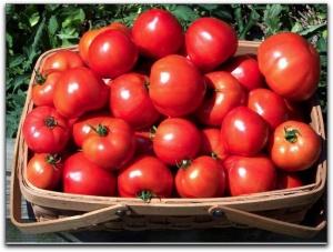 Обязательно соблюдайте режим полива помидор