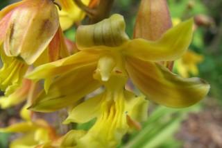 Каланта Зибольда (Calanthe sieboldii)