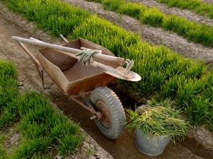 Сульфат аммония отлично подходит для выращивания зелени