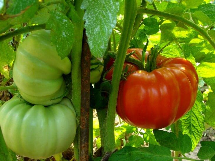 Высаживайте Хлебосольный томат в начале марта