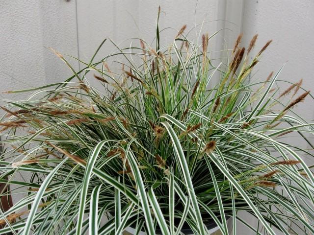 Осоку выращивают только как лиственное текстурное растение, а цветение всегда сильно вредит декоративности листвы