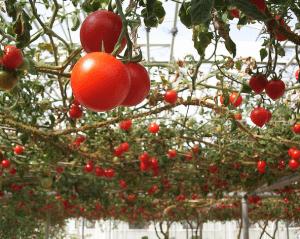 В теплице можно выращивать помидоры