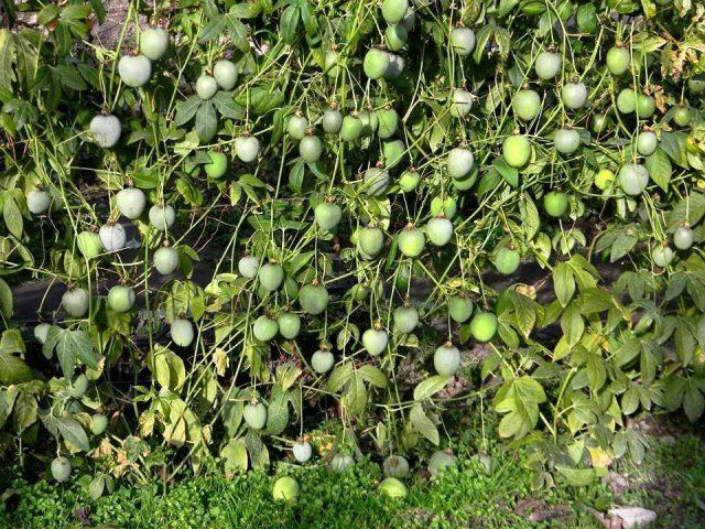 Для созревания плодов пассифлоры инкарнатной (Passiflora incarnata) должно пройти 60 дней от момента опыления