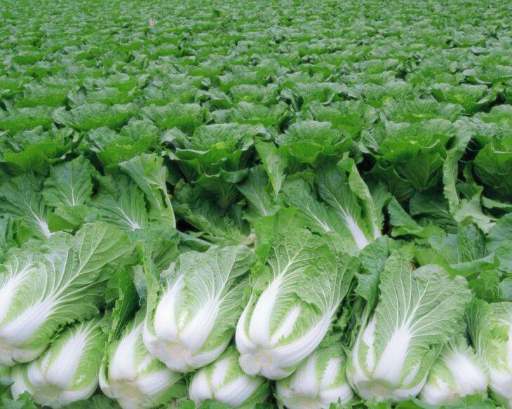 Выращивание пекинской капусты в поле
