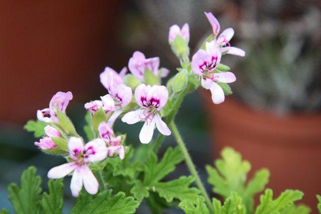 Похожие на бабочек, цветки пеларгонии душистой кажутся очень романтичными и нежными