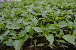Одной из составляющих ухода за болгарским перцем в закрытом грунте является удобрение