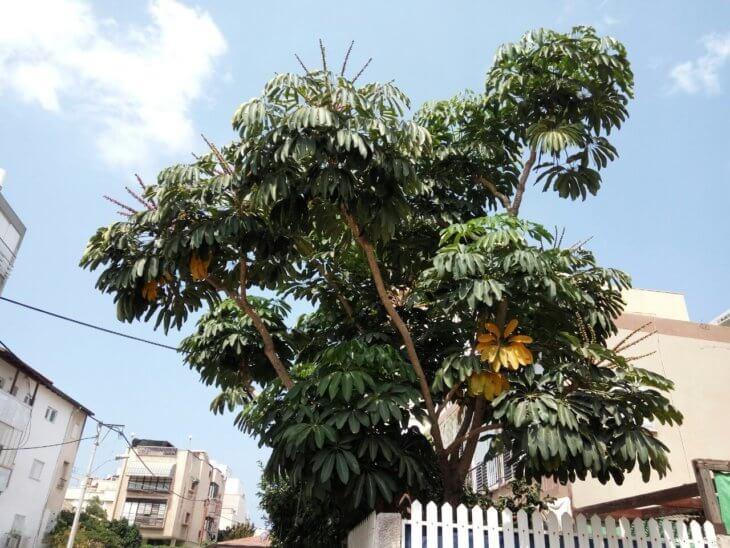 Дерево шеффлеры, которое растет в диких условиях