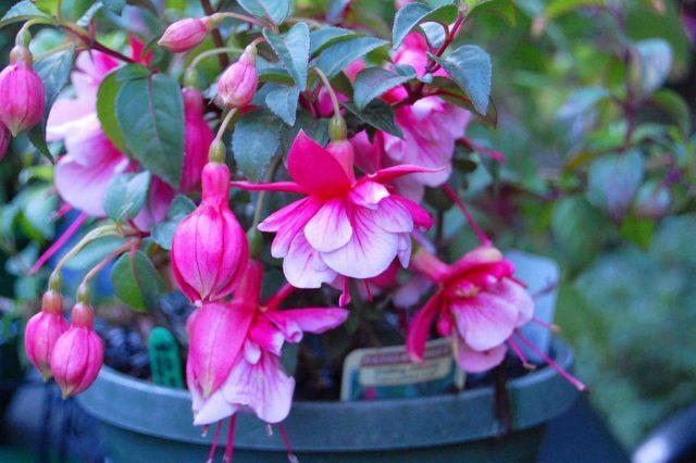 При правильном уходе комнатная фуксия (Fuchsia hybrids, Fuchsia x hybrida) способна цвести с середины мая до ноября