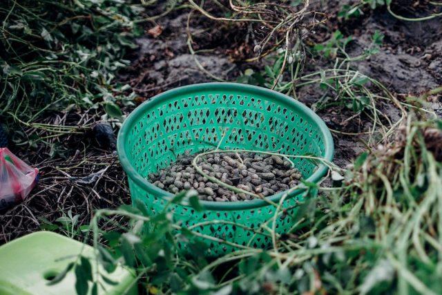 Урожай арахиса