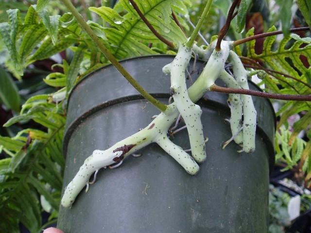 Мощные корневища полиподиума часто проламывают пластик или вылазят из горшка при несвоевременной пересадке