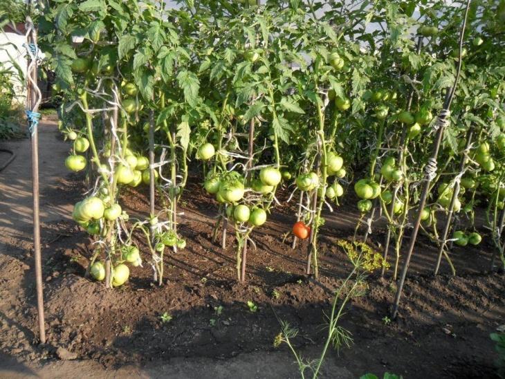 Созревание томатов в открытом грунте