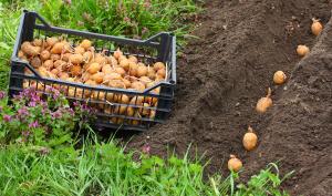 Не сажайте картофель в холодную землю