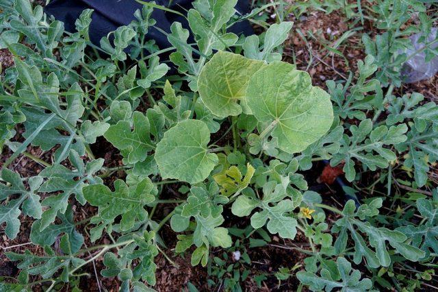 Лагенария стремится к активному росту, важно вовремя удалять тыквенную листву