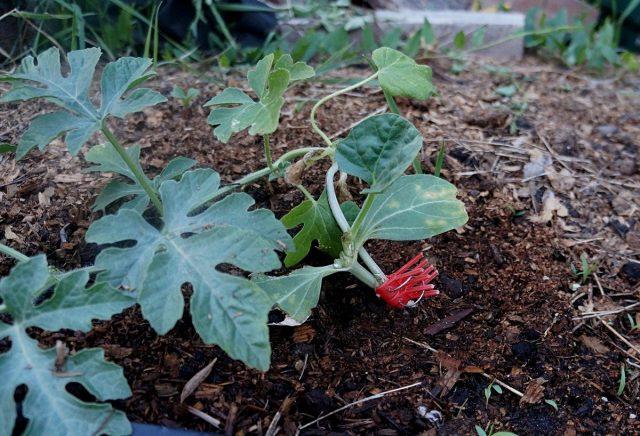 От подвоя оставляют лишь две семядоли и единственные листок, привой арбуза имеет хорошо развитую плеть