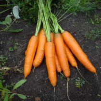 Морковь «Принцесса»
