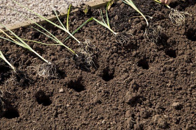 Лук-порей высаживают в индивидуальные лунки глубиной и шириной приблизительно около 12 см