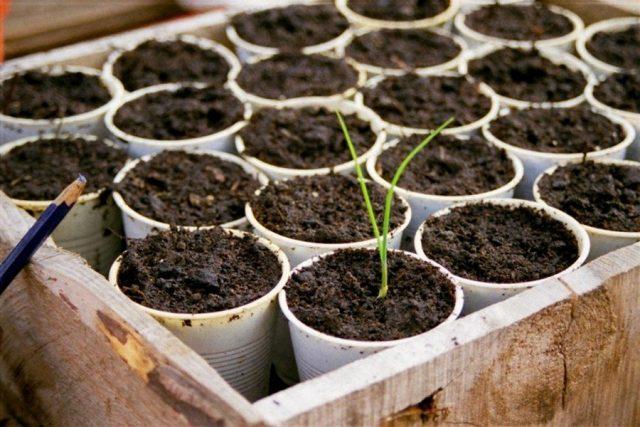 Рассаду лука-порея (Allium ampeloprasum 'Leek Group') лучше выращивать в индивидуальных стаканчиках или торфяных таблетках
