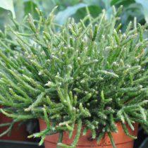 Рипсалис Бурчелла (Rhipsalis burchellii)