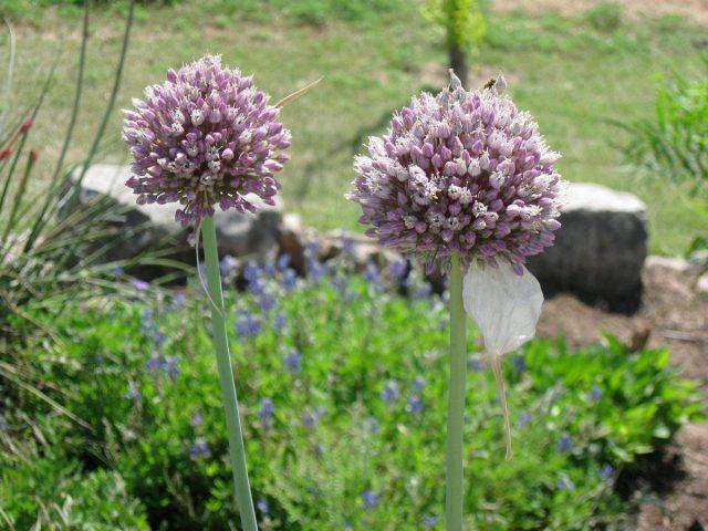 Соцветия «рокамболя» с быстро опадающим чехлом и декоративным округлым соцветием со светло-фиолетовыми колокольчатыми цветками
