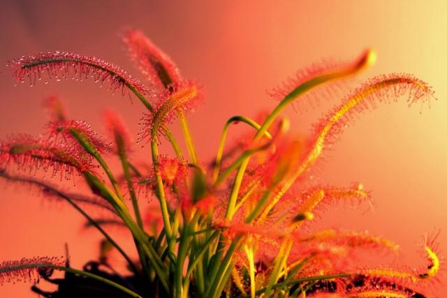 Росянка — оригинальное комнатное растение-хищник
