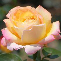 Чайно-гибридная роза «Глория Дэй»