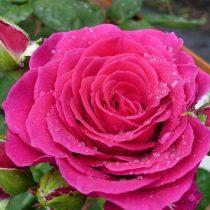 Клумбовая роза «Юр Бьюти»