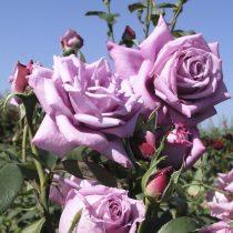 Плетистая роза «Индиголетто»