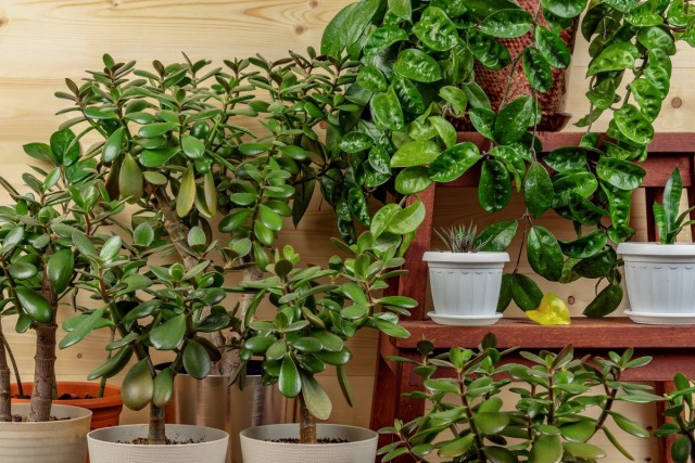Внешне толстянка напоминает небольшое коренастое деревце с коричневатым стволом и веточками, покрытыми плотными кожистыми листьями