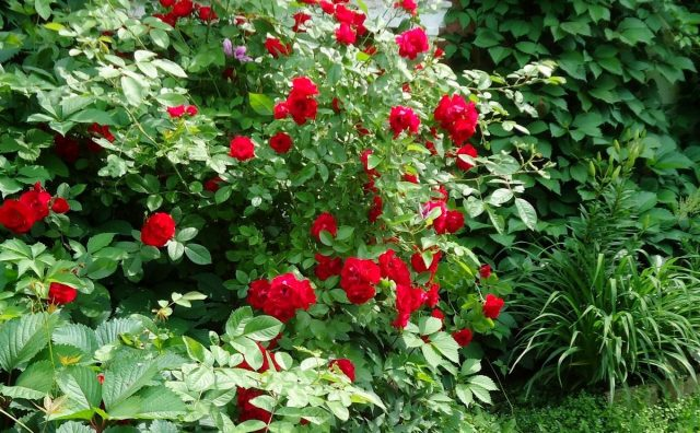 Роза «Фламментанц» (Flammentanz)