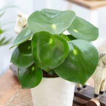 Пеперомия (Peperomia) — одно из лучших растений для детской комнаты
