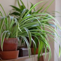Хлорофитум (Chlorophytum) - одно из лучших комнатных растений для очищения воздуха, а значит - и для детской