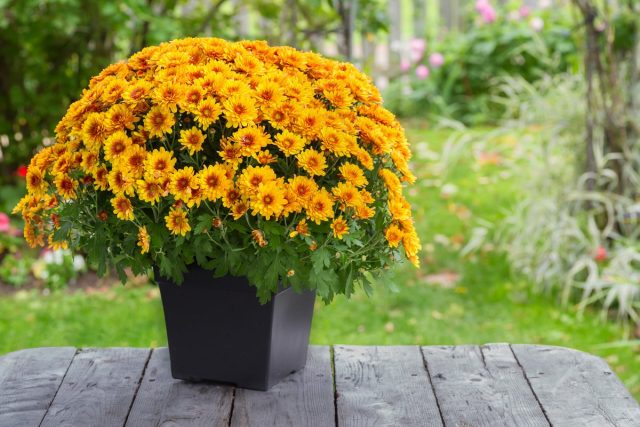 Хризантема мультифлора (Chrysanthemum morifolium)