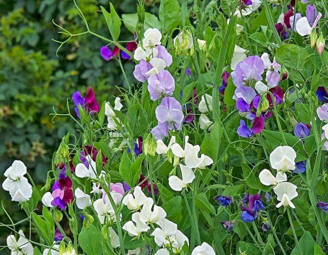Горошек душистый можно приравнять по своему воздействию к сидератам, обогащающим почву азотом