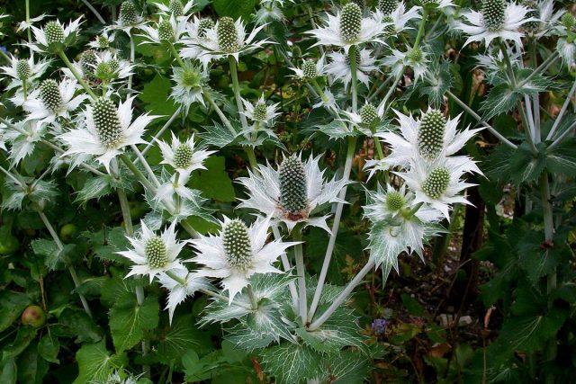 Синеголовник гигантский «Призрак мисс Уиллмотт» (Eryngium giganteum 'Miss Willmott's Ghost')