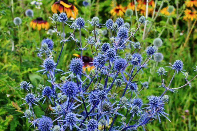 Синеголовник, или «чертогон» — модная колючка в саду