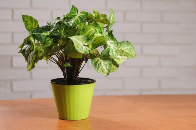 Сингониум — идеален для озеленения кухни и ванной комнаты